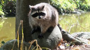 raccoon-827633_960_720