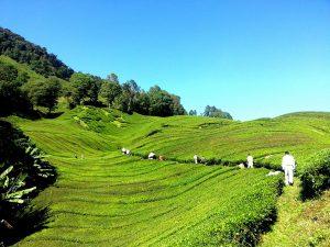 tea-plantation-261517_960_720