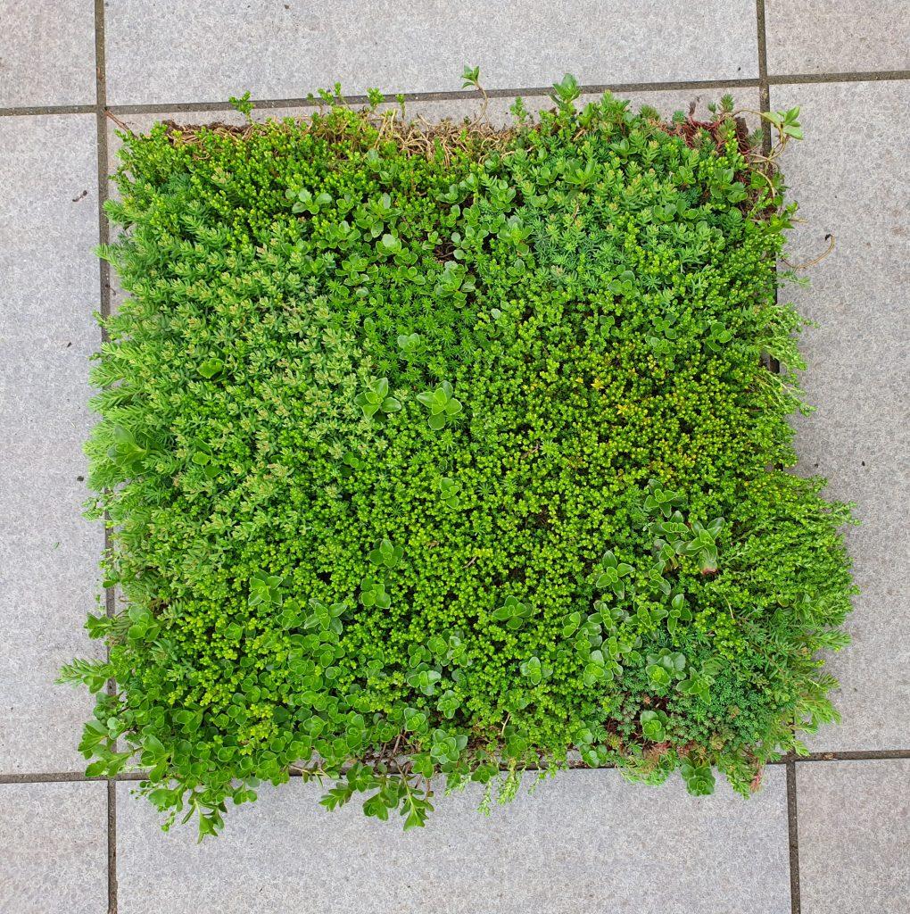sedumdak van groen dak compleet